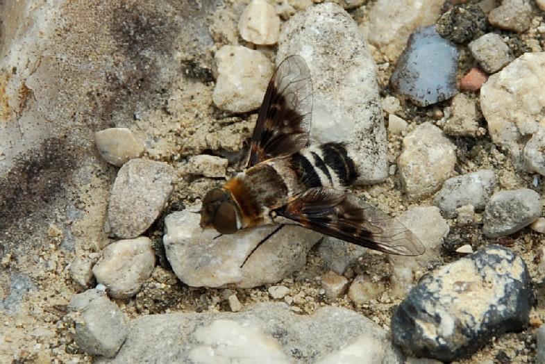 Bombyliidae (7)