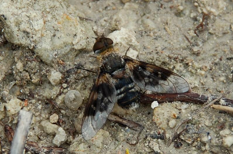 Bombyliidae (8)