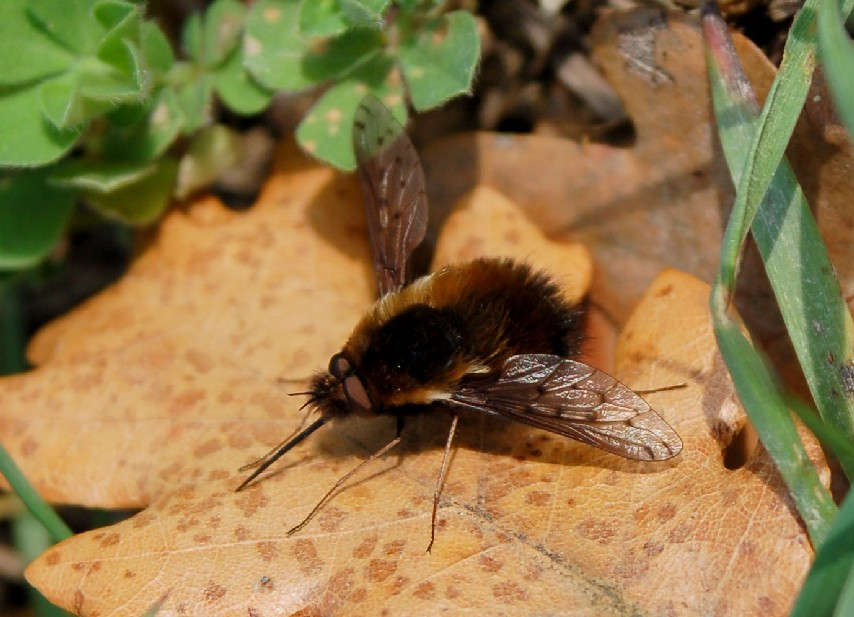 Bombylius discolor - Bombylidae