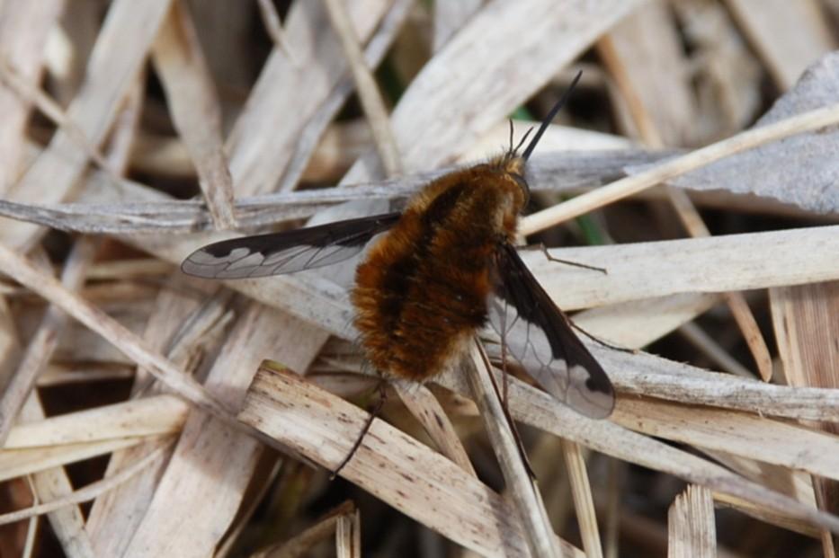 Bombylius major - Bombyliidae