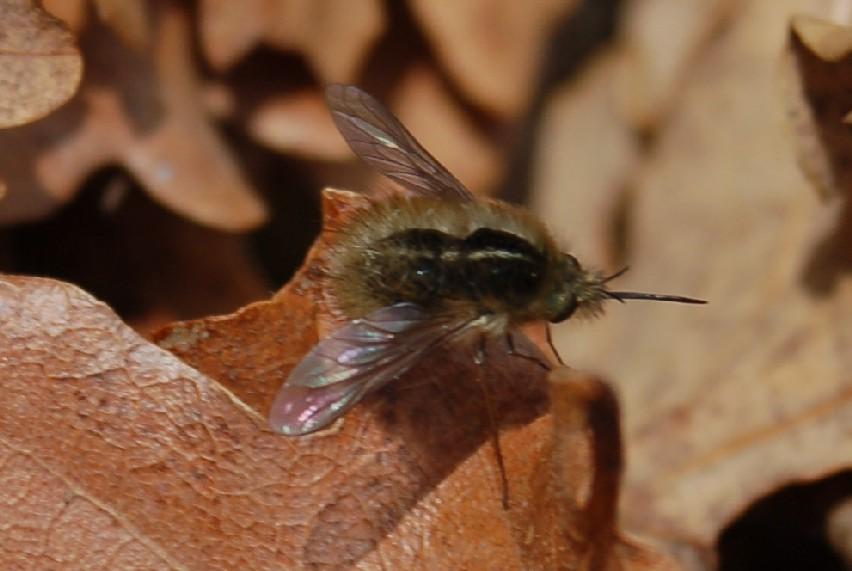 Bombylius minor - Bombyliidae
