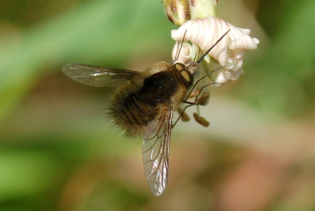 Bombylius sp. - Bombyliidae