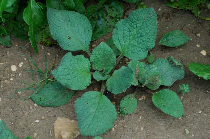 Borago officinalis 7