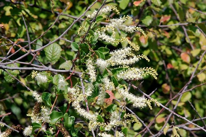 Boussingaultia baselloides