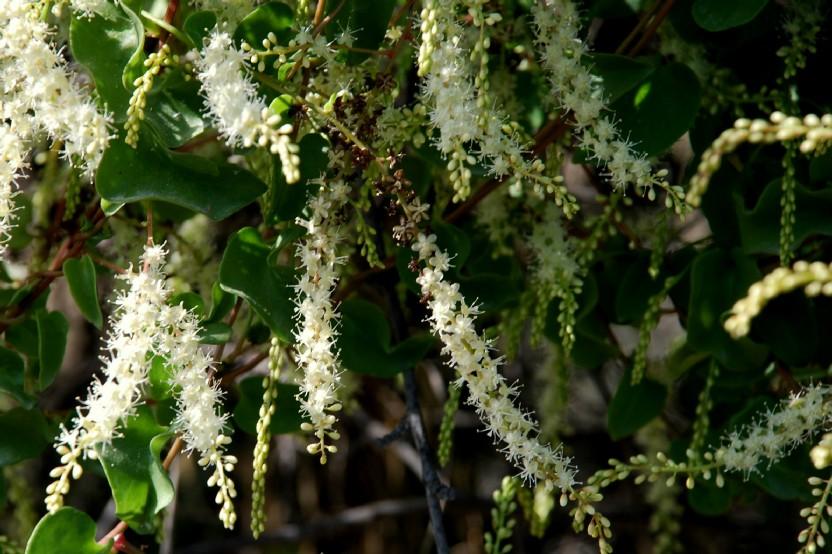 Boussingaultia baselloides 2