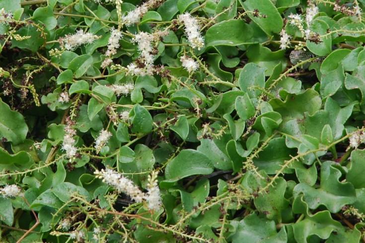 Boussingaultia baselloides 4