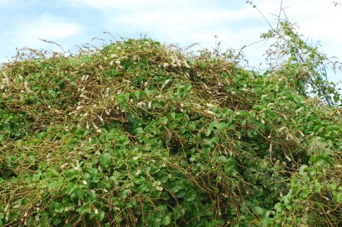 Boussingaultia baselloides 5