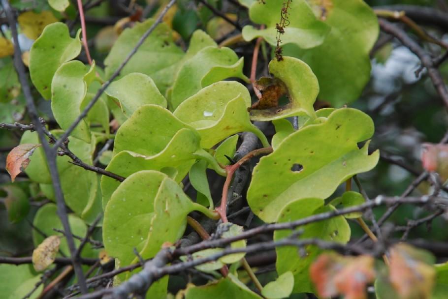 Boussingaultia baselloides 6