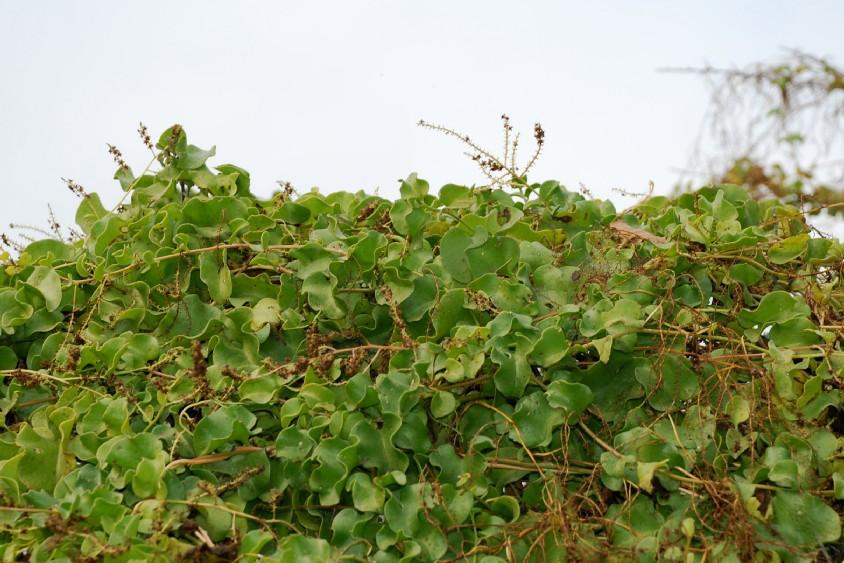 Boussingaultia baselloides 7