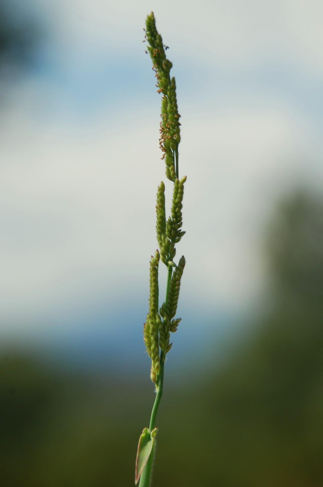 Brachiaria eruciformis 12