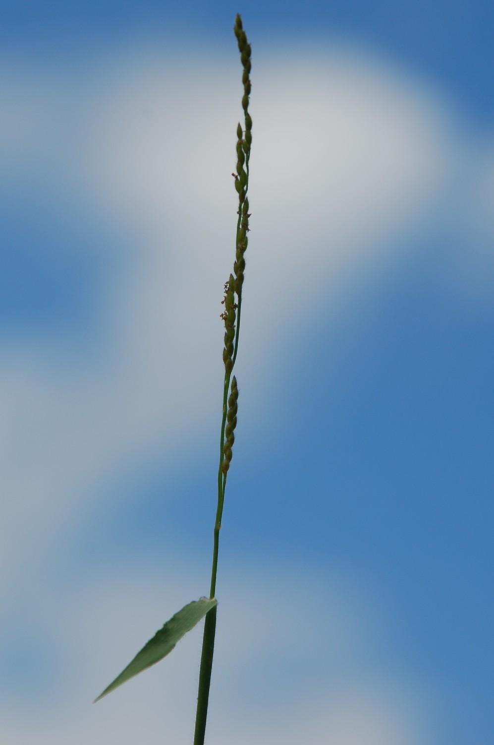 Brachiaria eruciformis 14