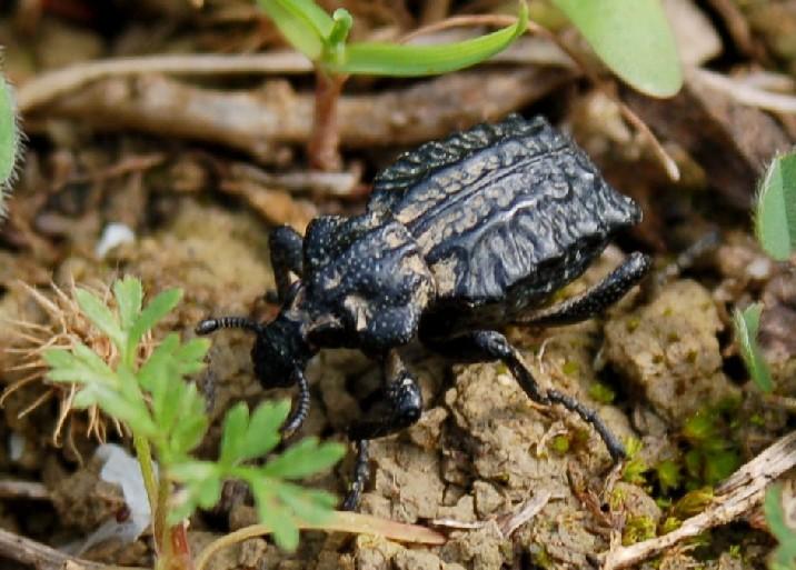 Brachycerus sp. -  Brachyceridae