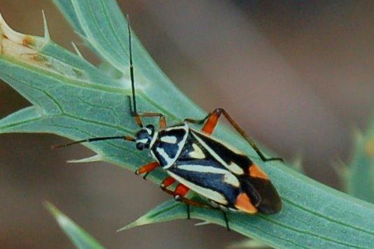 Brachycoleus steini -  Miridae