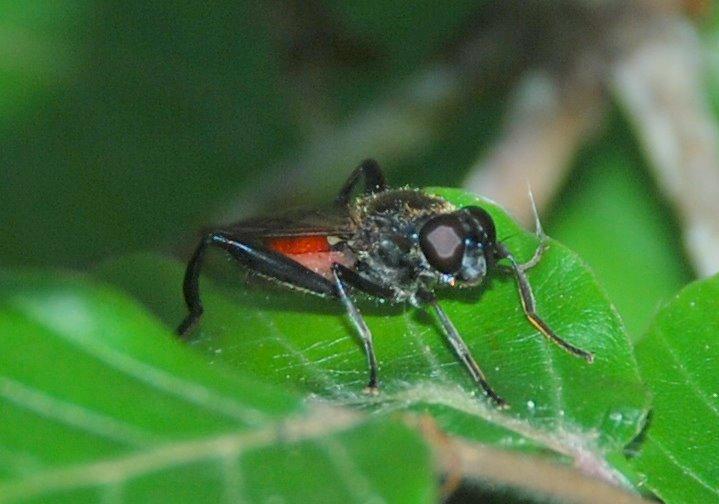 Brachypalpoides lentus -  Syrphidae