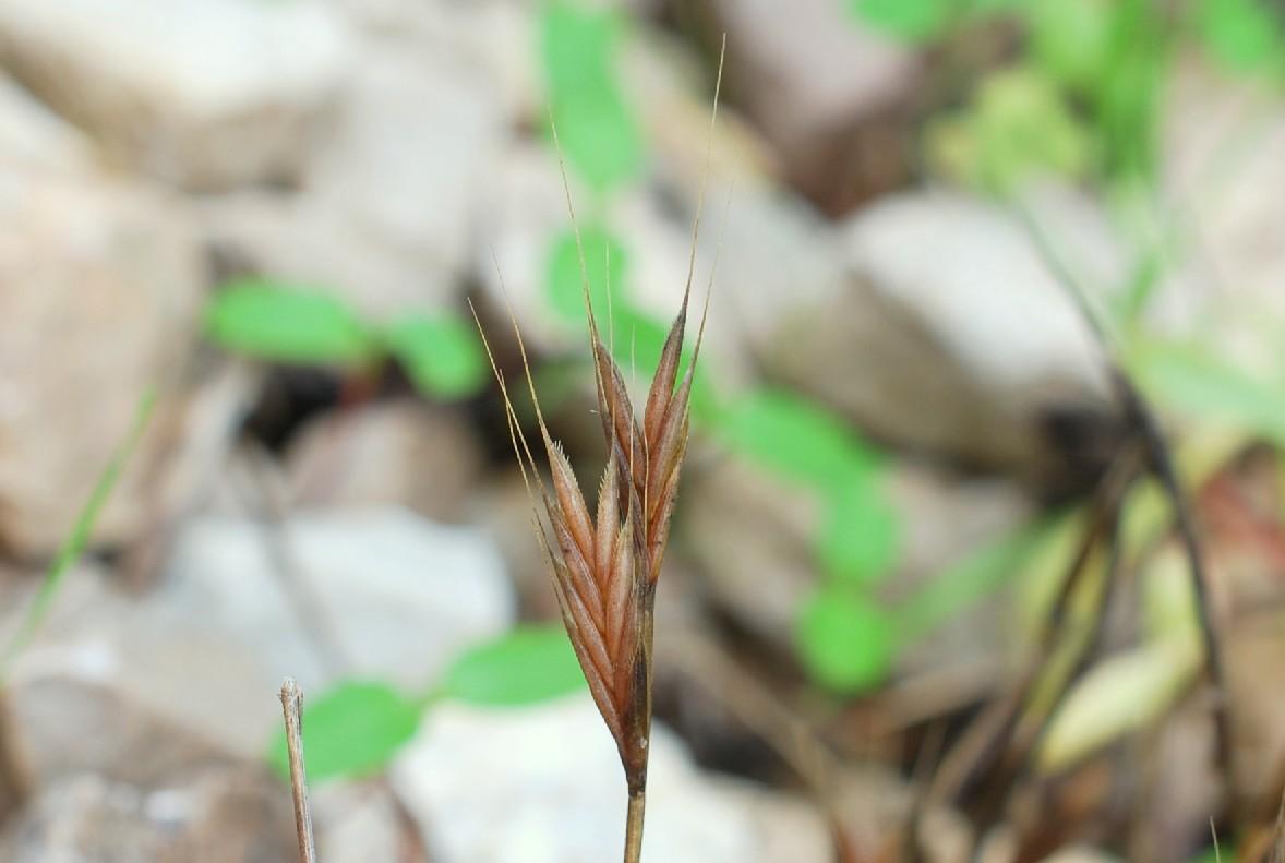 Brachypodium distachyon 14