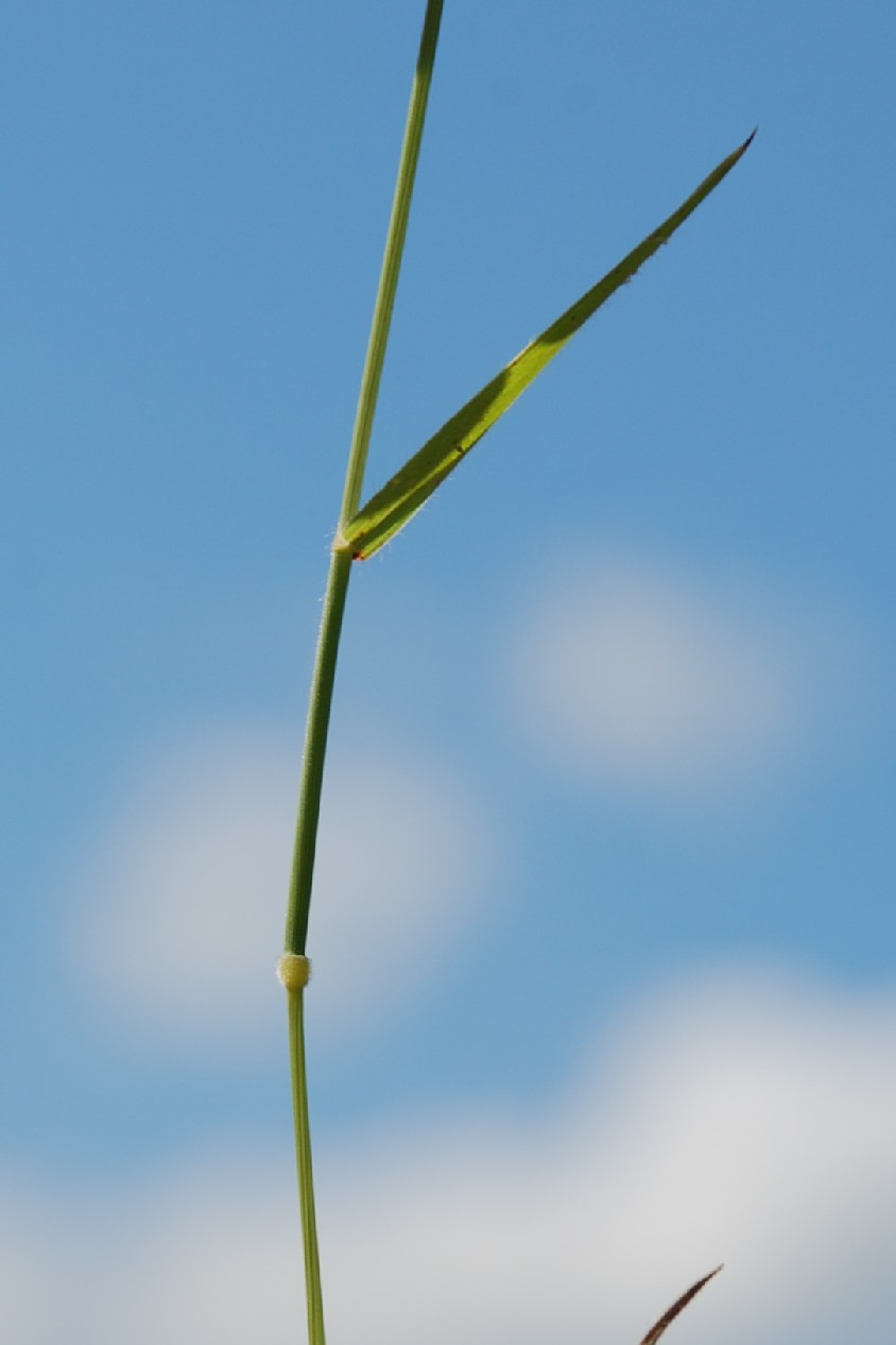 Brachypodium distachyon 8