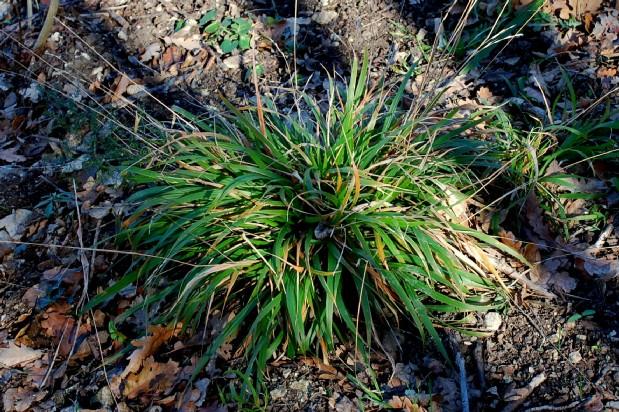 Brachypodium sylvaticum subsp. sylvaticum