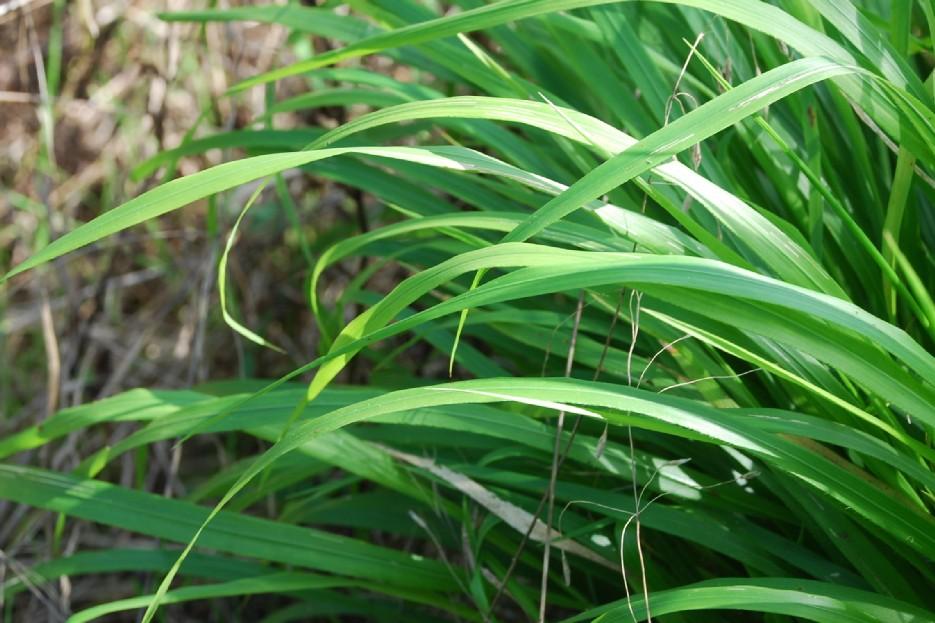 Brachypodium sylvaticum subsp. sylvaticum 12