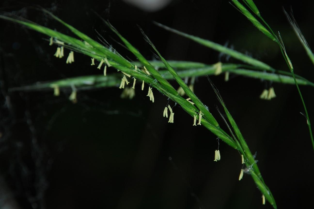 Brachypodium sylvaticum subsp. sylvaticum 7