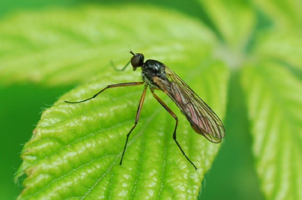 Brachystoma vesiculosum - Brachystomatidae