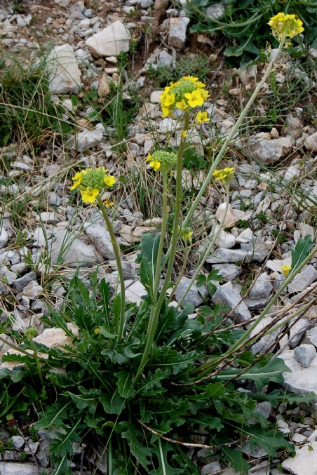 Brassica gravinae 2