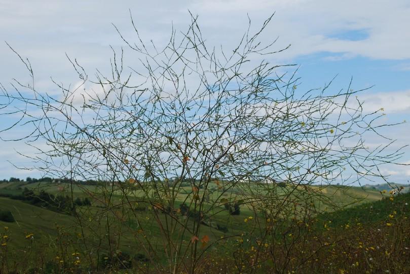 Brassica nigra 11