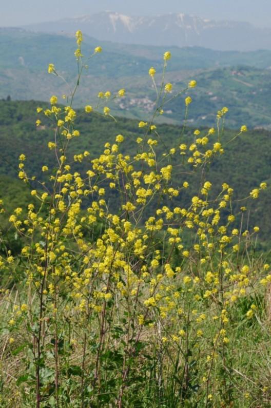 Brassica nigra 2