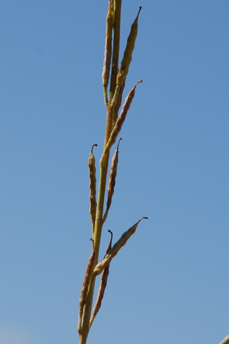 Brassica nigra 20