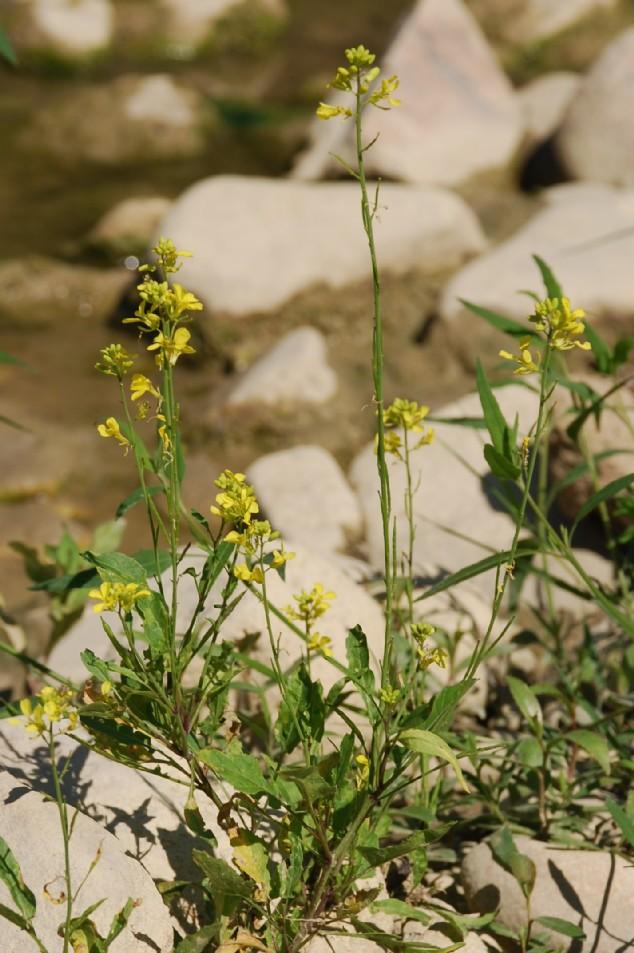 Brassica nigra 21