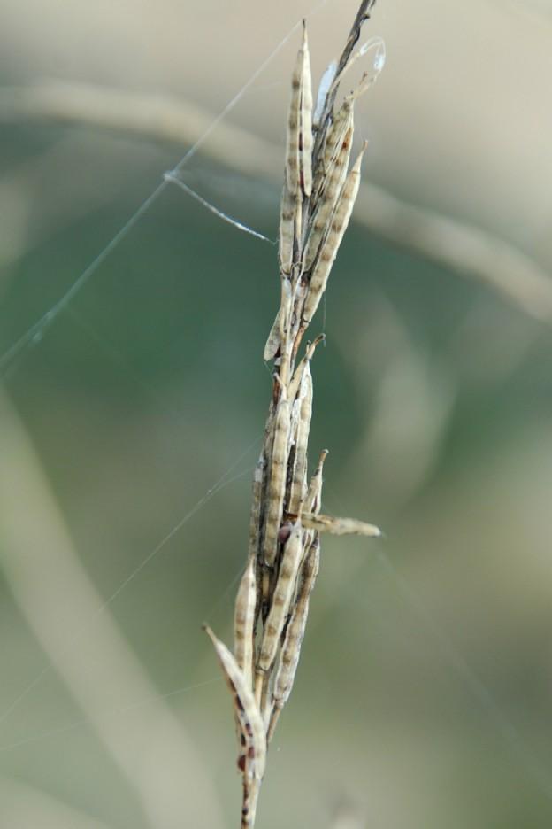 Brassica nigra 7