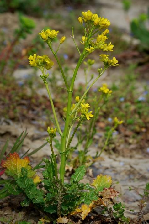 Brassica rapa subsp. rapa