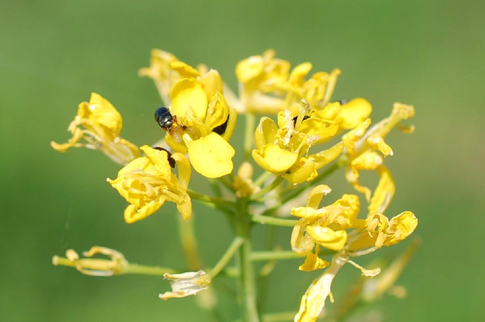 Brassica rapa subsp. rapa 2