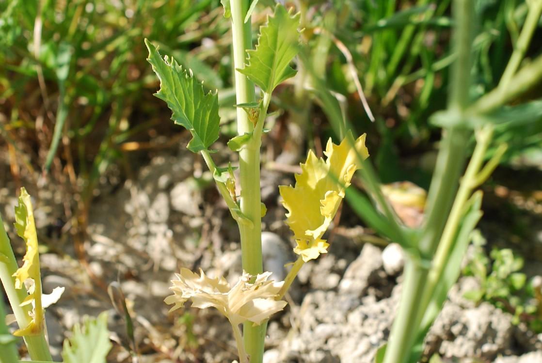 Brassica rapa subsp. rapa 4