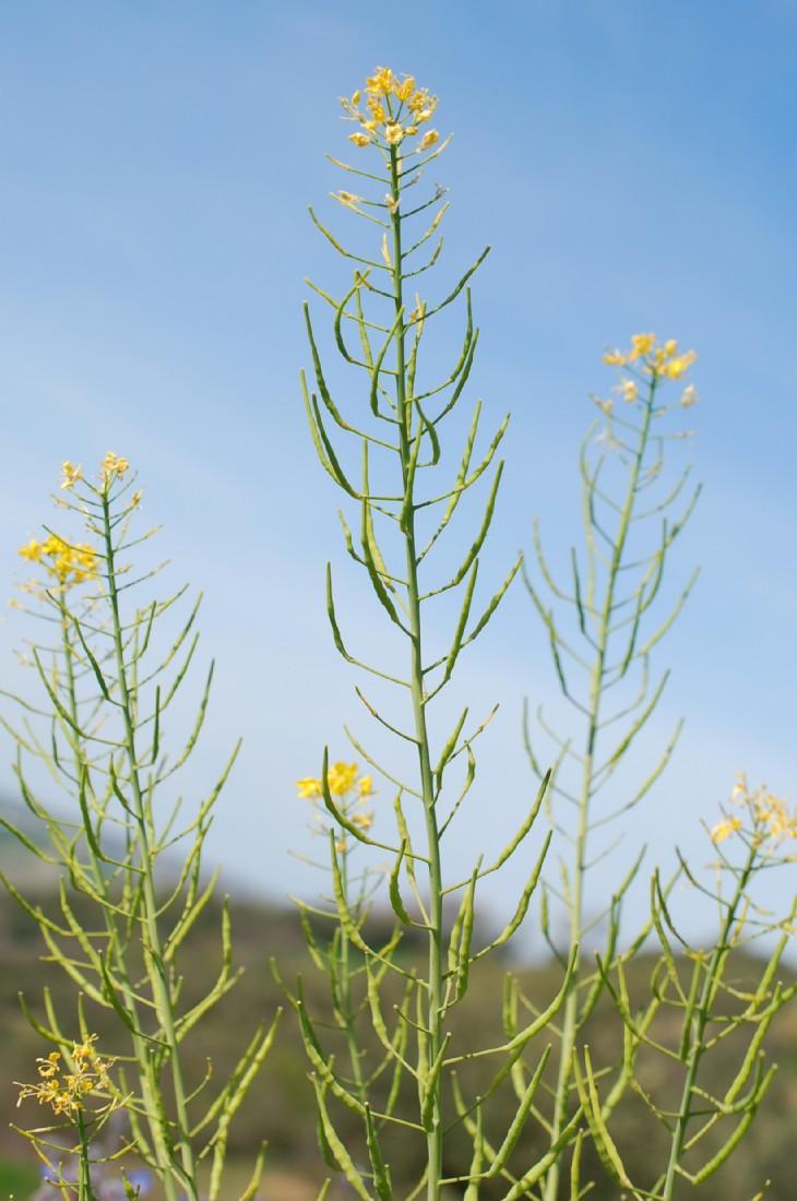 Brassica rapa subsp. rapa 7