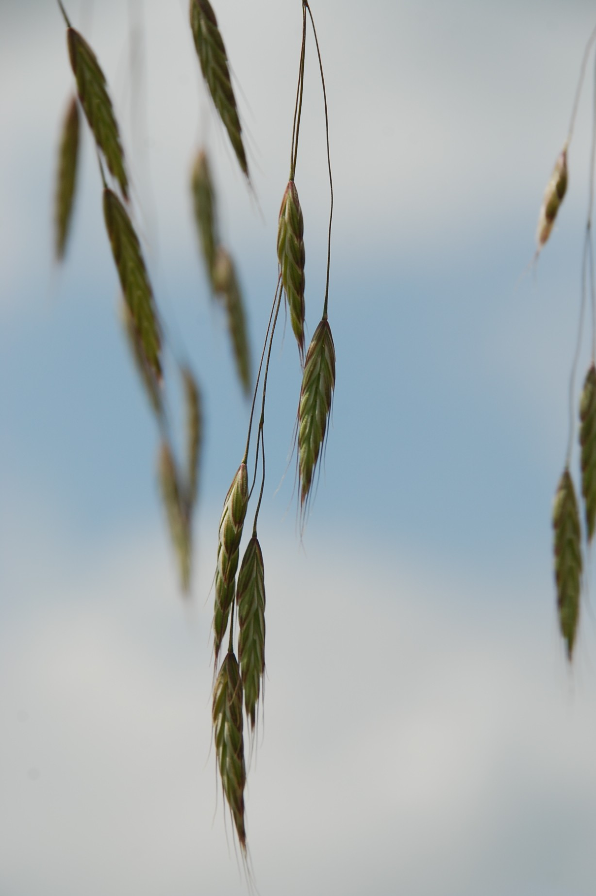 Bromus arvensis subsp. arvensis 3Bromus arvensis subsp. arvensis 3