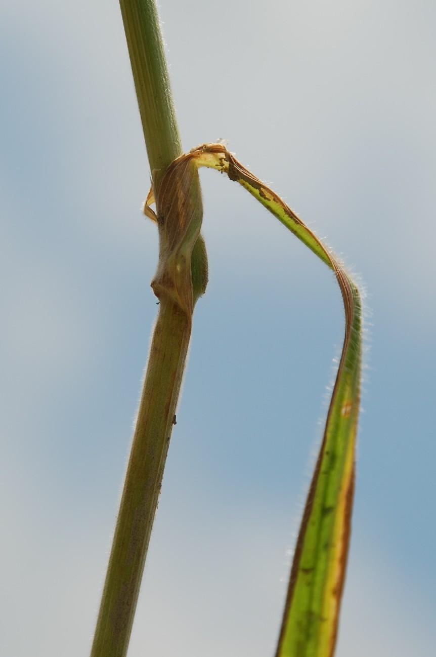 Bromus arvensis subsp. arvensis 4
