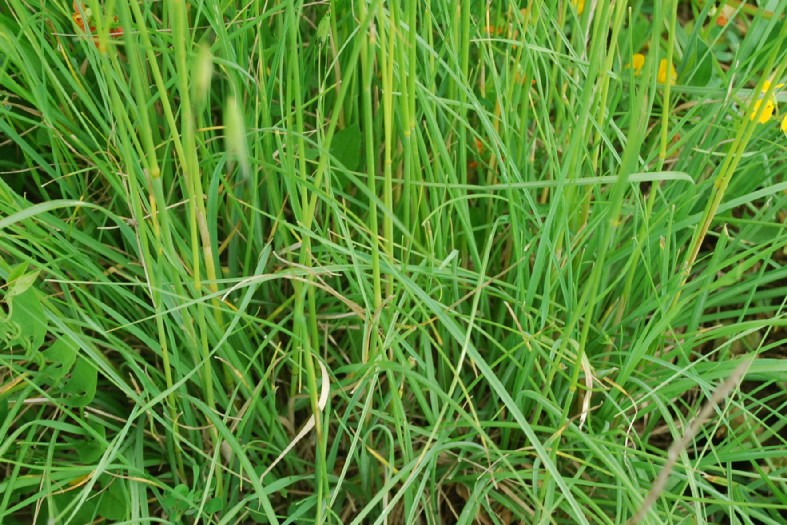 Bromus erectus subsp. erectus 4