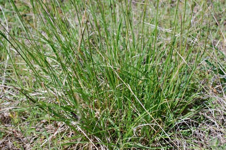 Bromus erectus subsp. erectus 6
