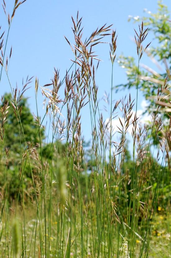 Bromus erectus subsp. erectus 7