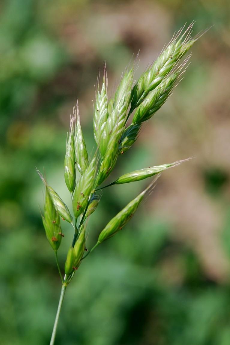 Bromus hordaceus subsp. hordaceus 3