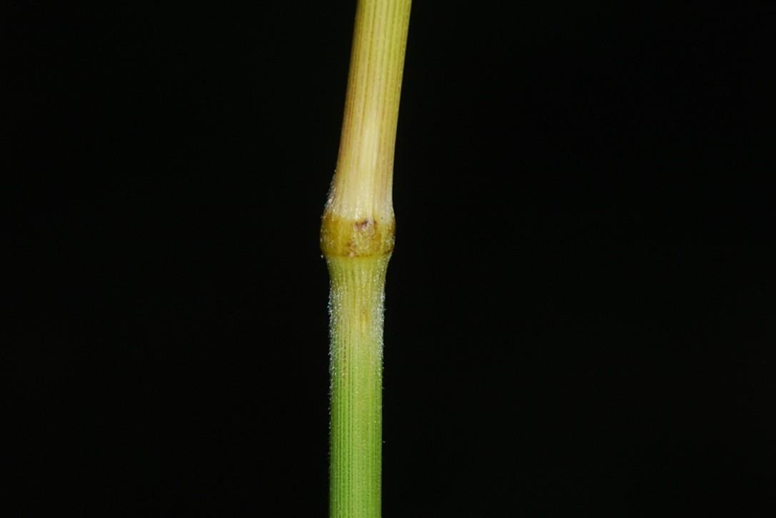 Bromus inermis 6
