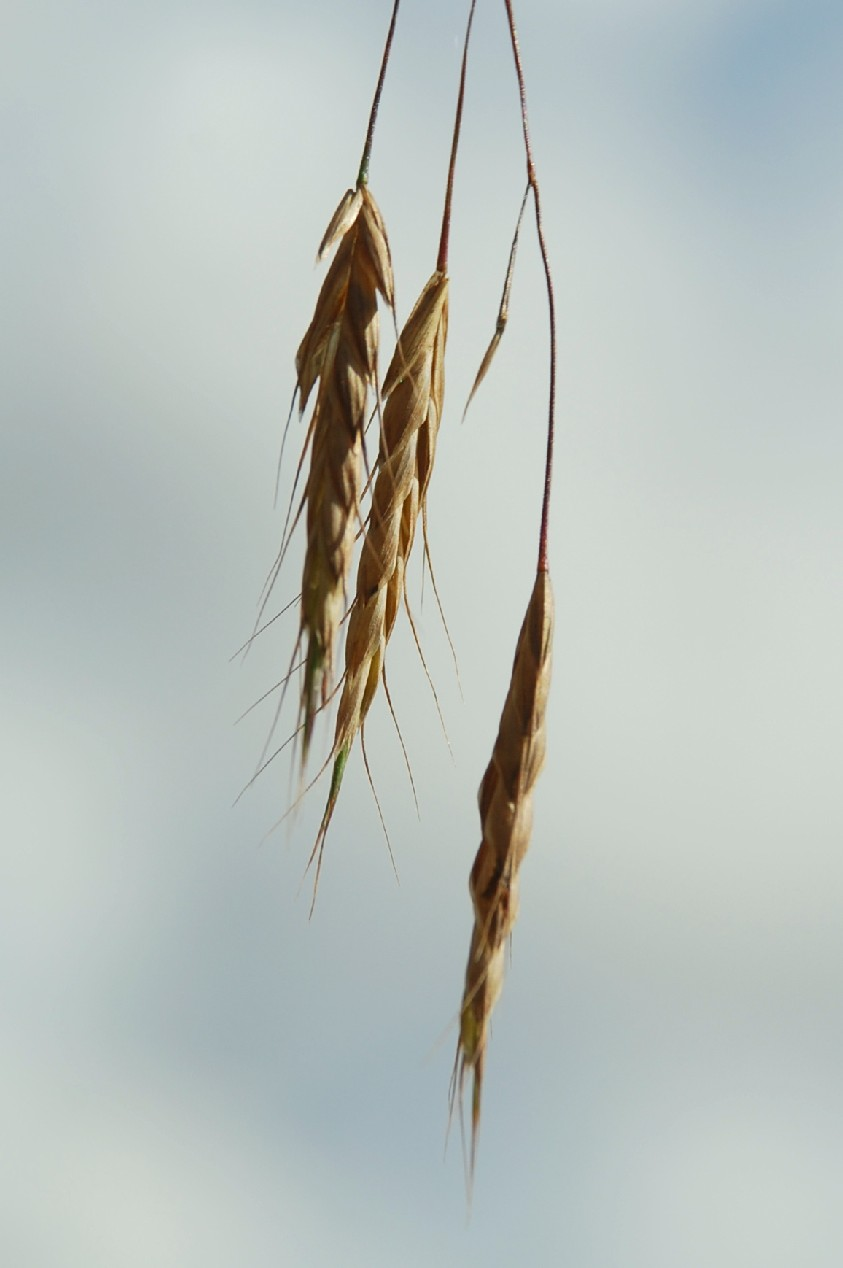 Bromus japonicus subsp. japonicus 2