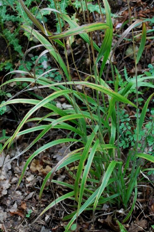 Bromus ramosus 15