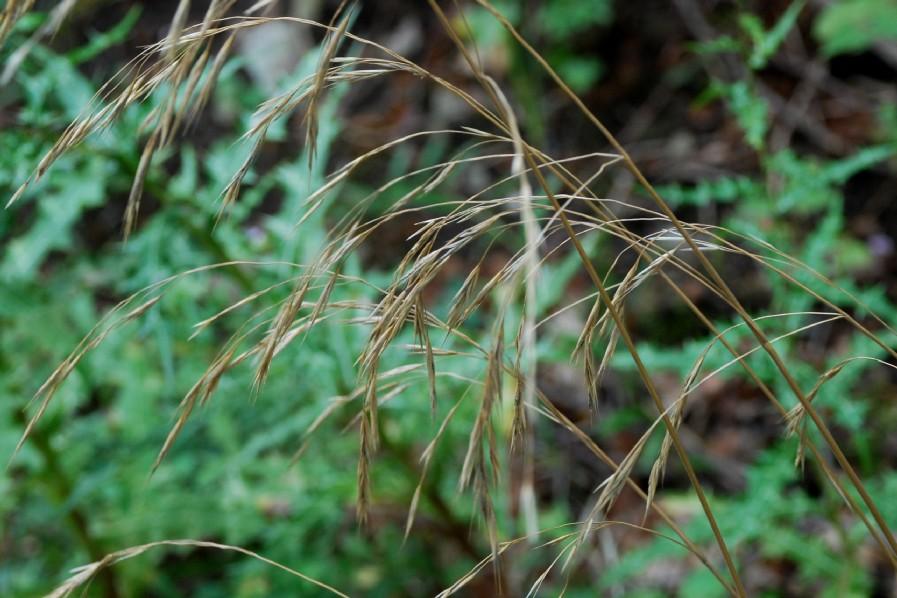 Bromus ramosus 16