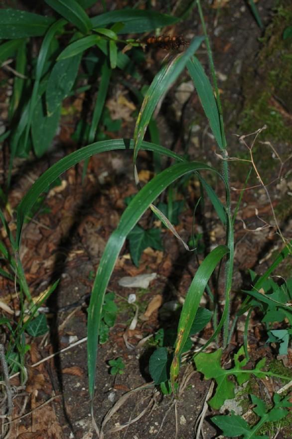 Bromus ramosus 18