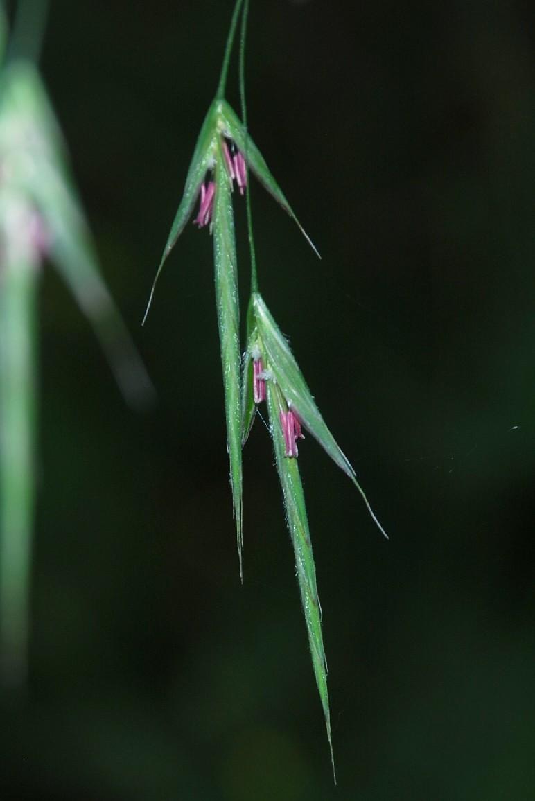 Bromus ramosus 21