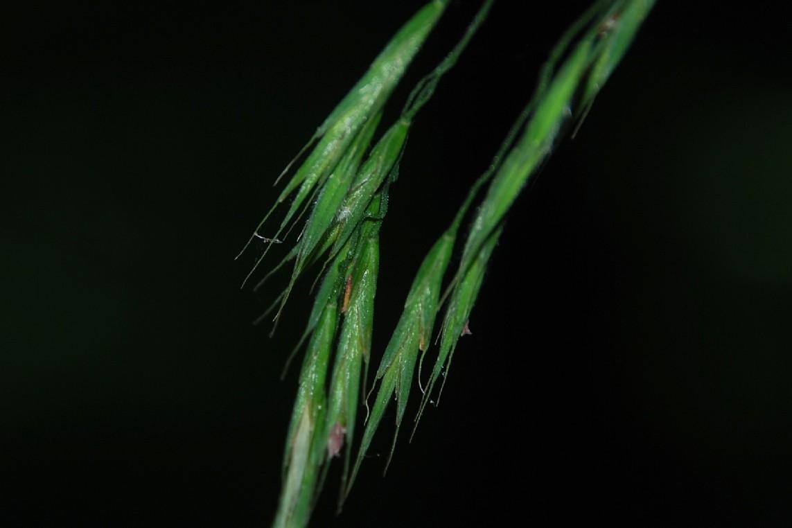 Bromus ramosus 22