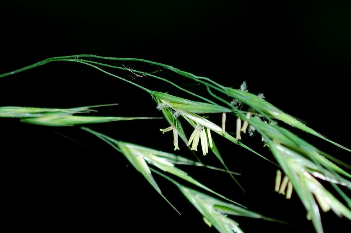 Bromus ramosus 25