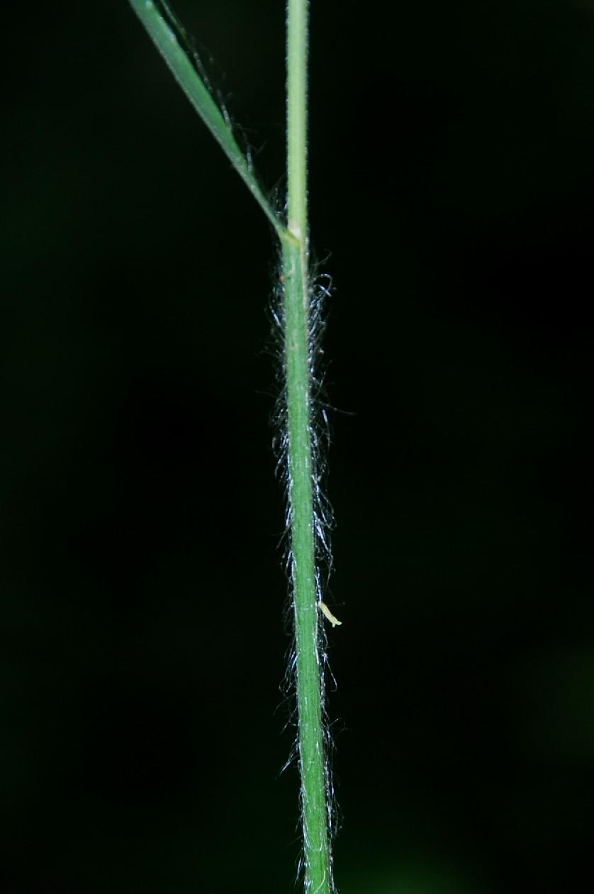 Bromus ramosus 5