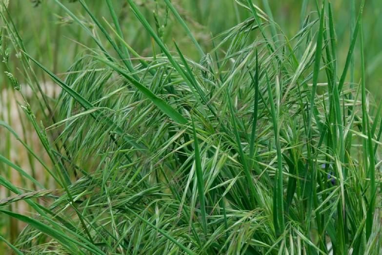 Bromus tectorum subsp. tectorum